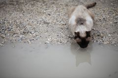Wild Siamese Royalty Free Stock Images