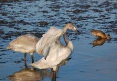Wild Siberia Swan Royalty Free Stock Image