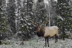 Wild Siberian stag in the winter forest. Royalty Free Stock Photos