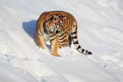 The wild siberian tiger is hunting for its prey. Stock Photo