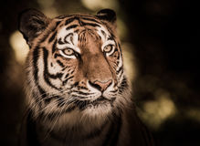 Wild siberian tiger in the jungle Stock Photo