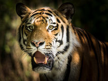 Wild siberian tiger in the jungle. Wild siberian tiger Panthera tigris altaica in the jungle Stock Image