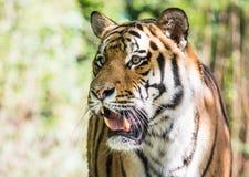 Wild siberian tiger in the jungle. Wild siberian tiger Panthera tigris altaica in the jungle Stock Photo
