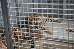 Wild Siberian tiger kept in cage inside a circus menagerie - animal abuse.  royalty free stock photo