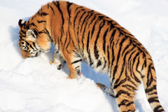 The wild Siberian tiger looks for its prey. Royalty Free Stock Image