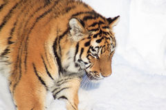 Wild siberian tiger on a morning walk. Animals in wildlife Stock Photo