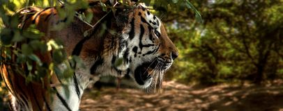 Wild Siberian tiger on nature Royalty Free Stock Photos