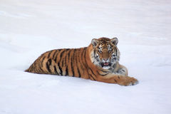 Wild siberian tiger rests after hunting. Animals in wildlife Royalty Free Stock Images