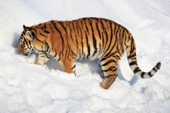 Wild siberian tiger tracks down its prey. Stock Photos