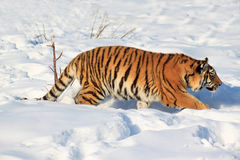 Wild siberian tiger on a walk. Royalty Free Stock Photo