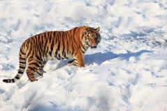 Wild siberian tiger walking on white snow. Royalty Free Stock Image