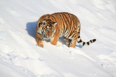 A wild siberian tiger walks on white snow. Animals in wildlife Royalty Free Stock Images