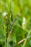 Wild side praying mantis on a green brown branch Royalty Free Stock Photography