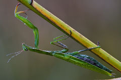 Wild side  praying mantis mantodea Royalty Free Stock Photo