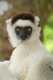Wild sifaka lemur, Madagascar Royalty Free Stock Photo