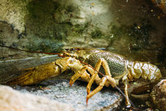 Wild Signal crayfish is sitting on stone Royalty Free Stock Photos