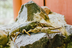 Wild Signal crayfish is sitting on a stone Royalty Free Stock Photos