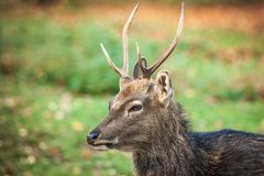 Sika Deer Stag. A wild Sika stag photographed on a green pasture Stock Images