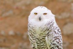 Wild silent raptor bird white snowy owl Stock Image
