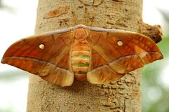 Wild silkmoth royalty free stock image