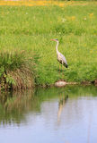 Wild silver egret, reflecting in a pond Royalty Free Stock Photography