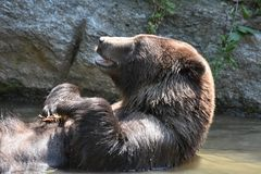 Silvertip grizzly with its mouth open while bathing Stock Photos