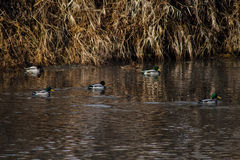 Wild simma för änder Fotografering för Bildbyråer