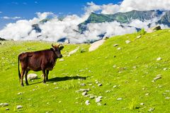 Wild skinny cow in Himalaya mountains Stock Images