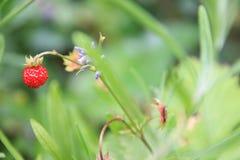 wild skjuten jordgubbe för fokusförgrundsskog makro Arkivbilder