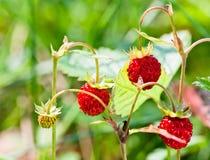 wild skjuten jordgubbe för fokusförgrundsskog makro Fotografering för Bildbyråer