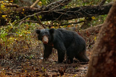 Wild sloth bear, Melursus ursinus, in the forest of Wilpattu national park, Sri Lanka. Sloth bear staring directly at camera, wild