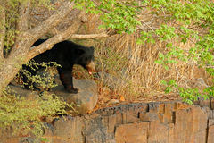 Wild sloth bear, Melursus ursinus, Ranthambore National Ppark, India. Sloth bear staring directly at camera, wildlife photo. Dange. Wild sloth bear, Melursus Royalty Free Stock Photo