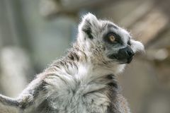 Wild small animal a lemur looks before himself forward Stock Photography