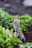 Wild small animal - long-tailed ground squirrel Stock Photography