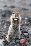 Wild small animal - long-tailed ground squirrel Royalty Free Stock Photo