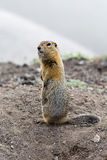 Wild small animal - long-tailed ground squirrel Royalty Free Stock Images