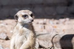 Wild small animal a suricata looks before himself forward Royalty Free Stock Photo