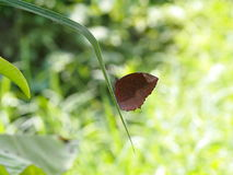 Wild small dark brown butterfly moth on green leaves. Tropical plants outdoor authentic shot in garden with colorful bokeh background Royalty Free Stock Photo
