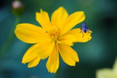 Wild yellow flower with fly. Wild small flower was bloom in the winter 2017 Stock Images