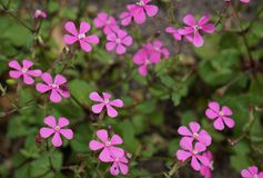 Small pink flowers stock image