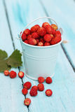 Wild small strawberry in a bucket Royalty Free Stock Image
