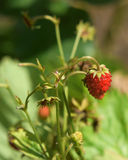 Wild small strawberry on green stalk. In green garden Royalty Free Stock Photos