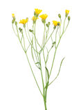 Wild small yellow flowers isolated on white Stock Photo
