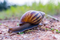 Wild snail Stock Photo