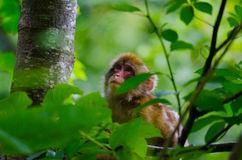 Wild snow monkey Royalty Free Stock Photo