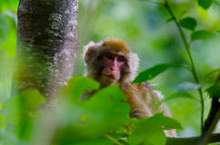 Wild snow monkey Stock Photos