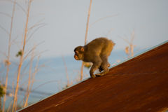 Wild Snow monkey Royalty Free Stock Images