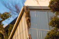 Wild Snow monkey Stock Photo