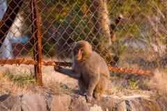 Wild Snow monkey Stock Photos