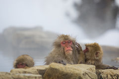 Wild Snow Monkey: Bad Hair Day Misery. Sitting in steamy water accompanied by juveniles, one of which is doing its best to `groom`, an adult wild, wet, red-faced Stock Images